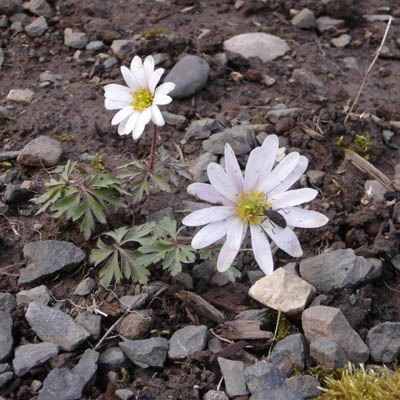 windflower.jpg