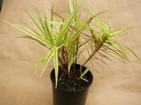 Carex 'Sparkler'
