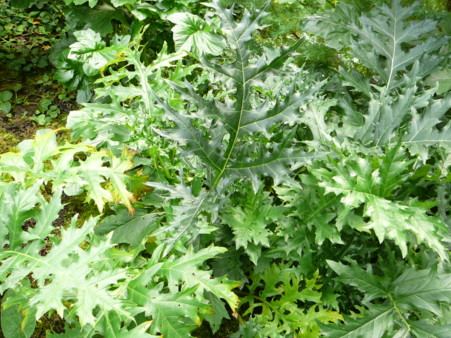 Acanthus spinosa