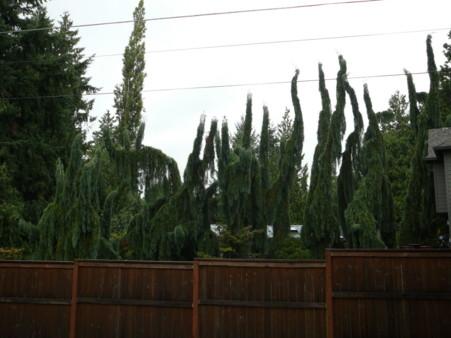 many sequoias