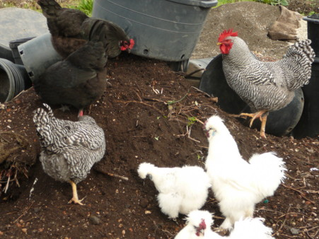 chickens in the planting soil
