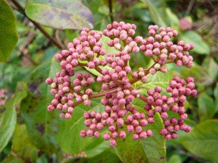viburnum tinus 'Robustrum'