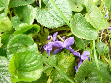 viola odoratum