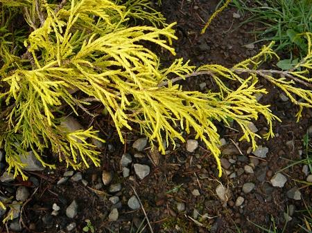 Chamaecyparis pisifera 'lemon thread'