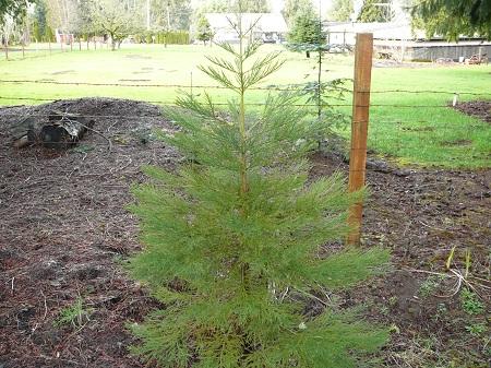 sequoidendron giganteum