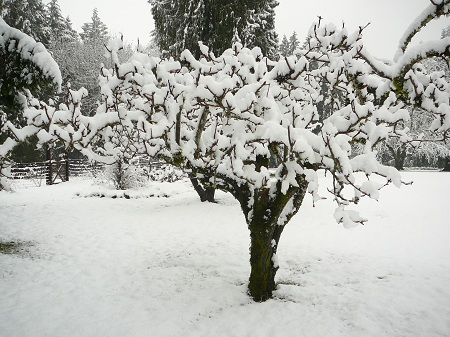 snowy pear tree