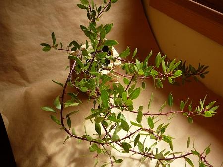 arcostaphylos densiflora 'Harmony'