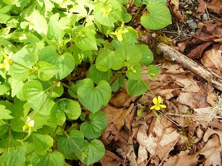 yellow violets