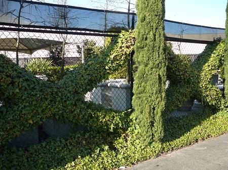 arborvitae and ivy