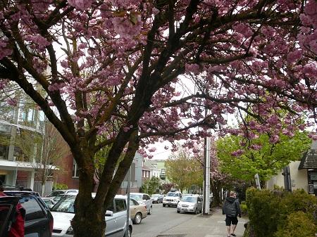flowering street trees