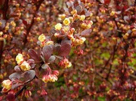 Berberis thunbergii purpurea