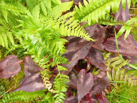 ferns with Persicaria 'Red Dragon'