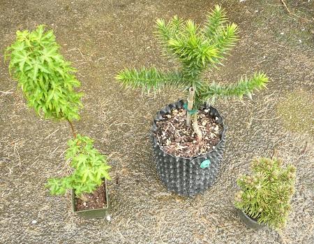 Acer palmatum 'Shishigashura', Araucaria araucana, Pinus mugo 'White Bud'