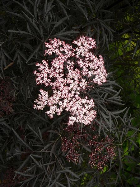 Sambucu nigra 'Eva'