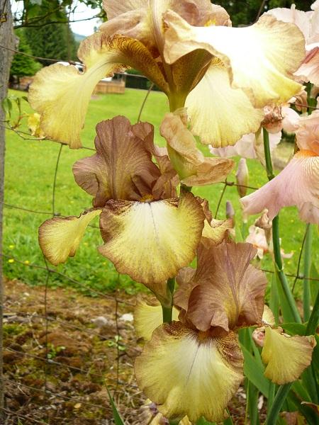 iris, bronzy-yellow