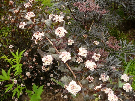 Physocarpus oputifolias 'Summer Wine'