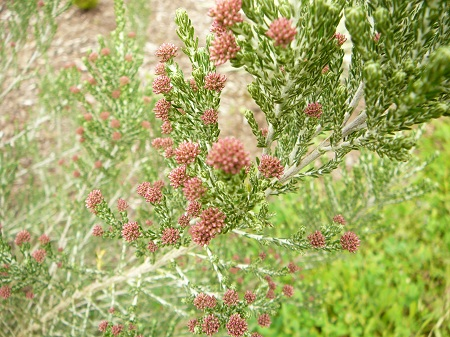 Ozothamnus 'Sussex Silver'