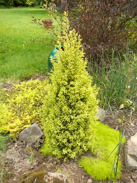 Juniperus communis 'Gold