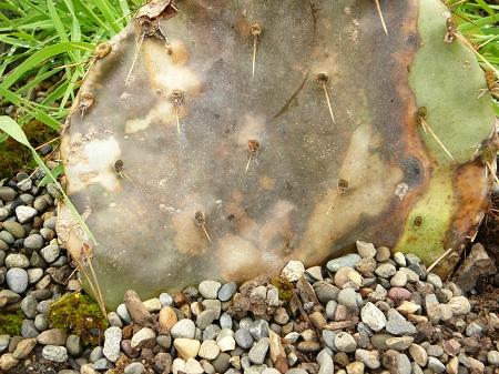 opuntia (dead)