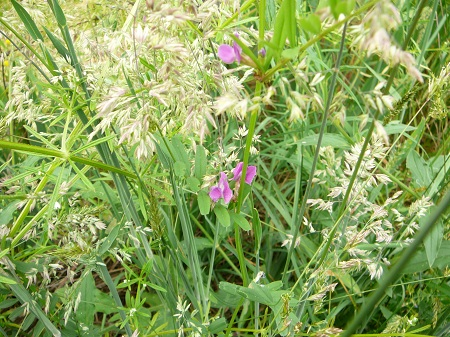 grasses and vetch