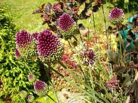 Alliums shpaerocephalon (drumstick) and 'Hair'