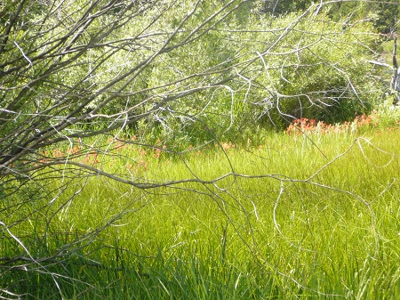 more Indian paintbrush