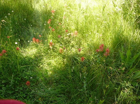 grasses and Indian paintbrush