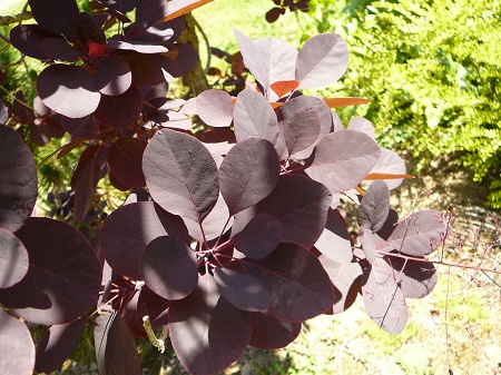 Cotinus 'Purple Robe'