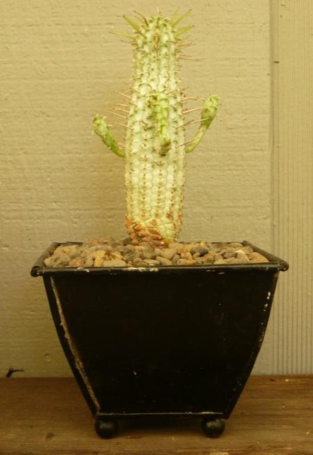 Euphorbia mamilaris 'varigata'