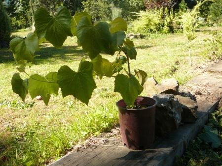 Uva sin semillas 'Concord'