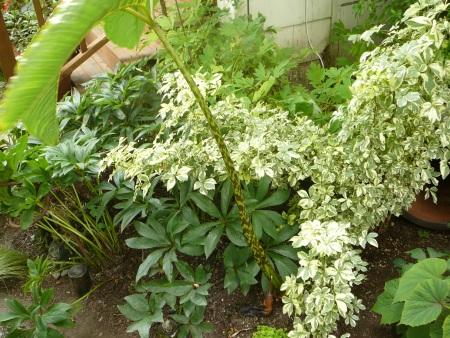 Arisaema speciosa magnificum stem