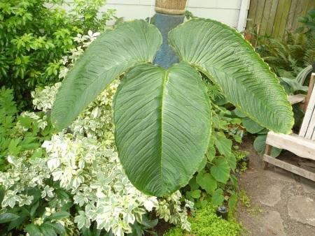 Arisaema speciosa magnificum leaf