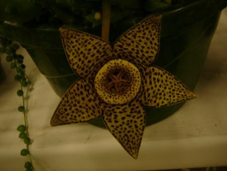 Stapelia (lepida?) (planiflora?)