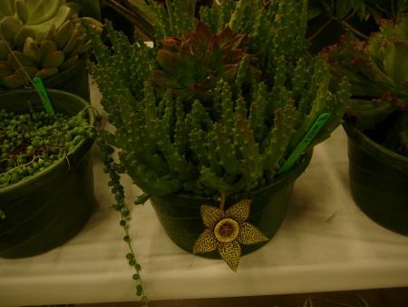 Stapelia plant