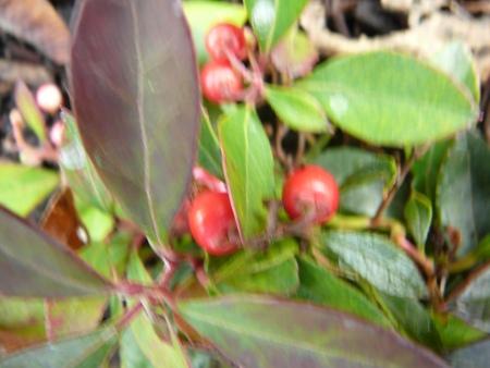 Gaultheria procumbuns