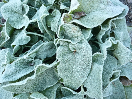 Phlomus leaves