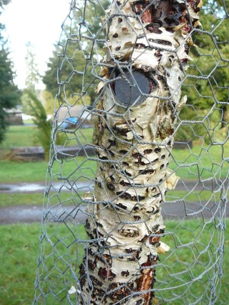sapsucker damaged birch trunk