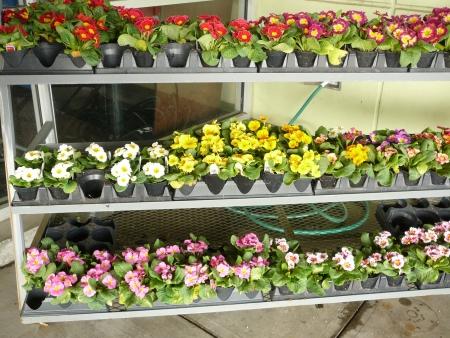 a rainbow of primroses