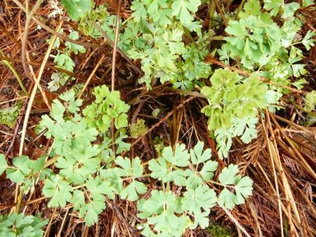 Aguilegia 'Swallowtail' foliage