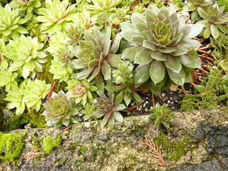 tufa trough with moss and sempervivens