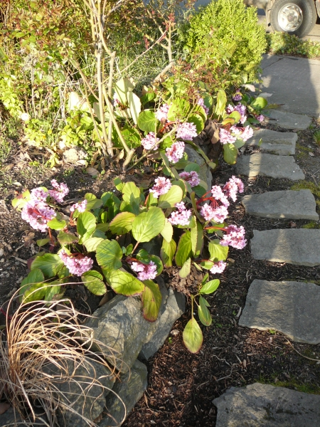 rock path and retaining wall with bergenia