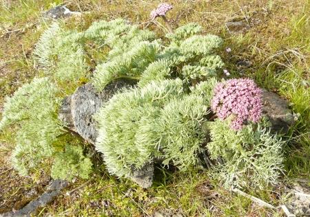 Lomatium columbialum