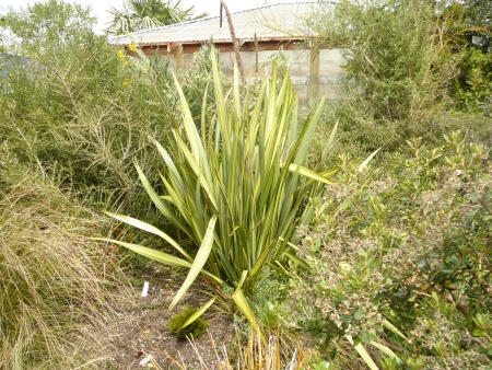 unknown phormium looking good