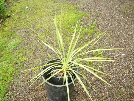 Yucca aloifolia 'Spanish bayonet'