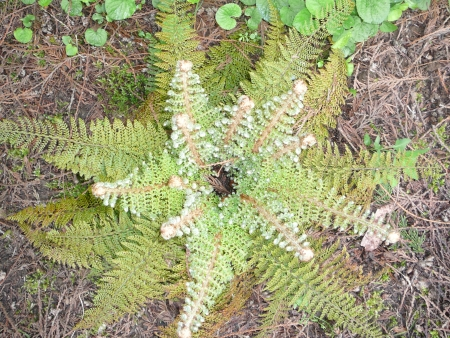 another fern?