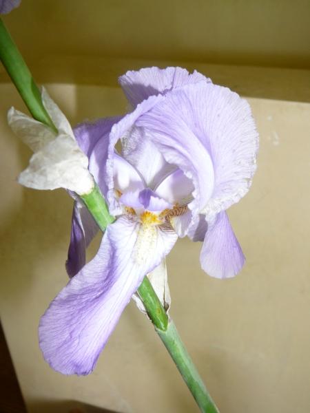 pale lavender Iris