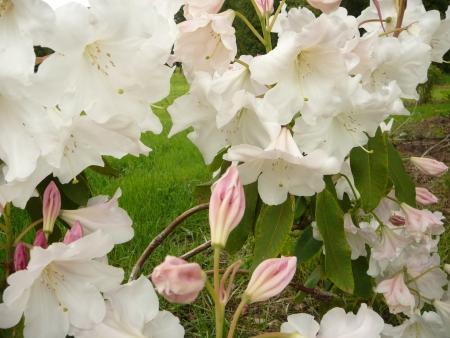 Rhododendron Loderi 'Saint George'