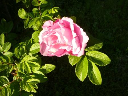Rosa rugosa 'Buffalo Gals'