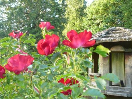 Rosa 'Dortmund'
