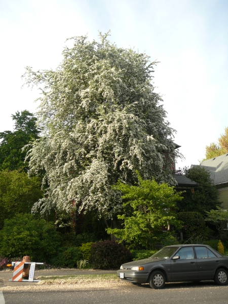 hawthorne tree in bloom